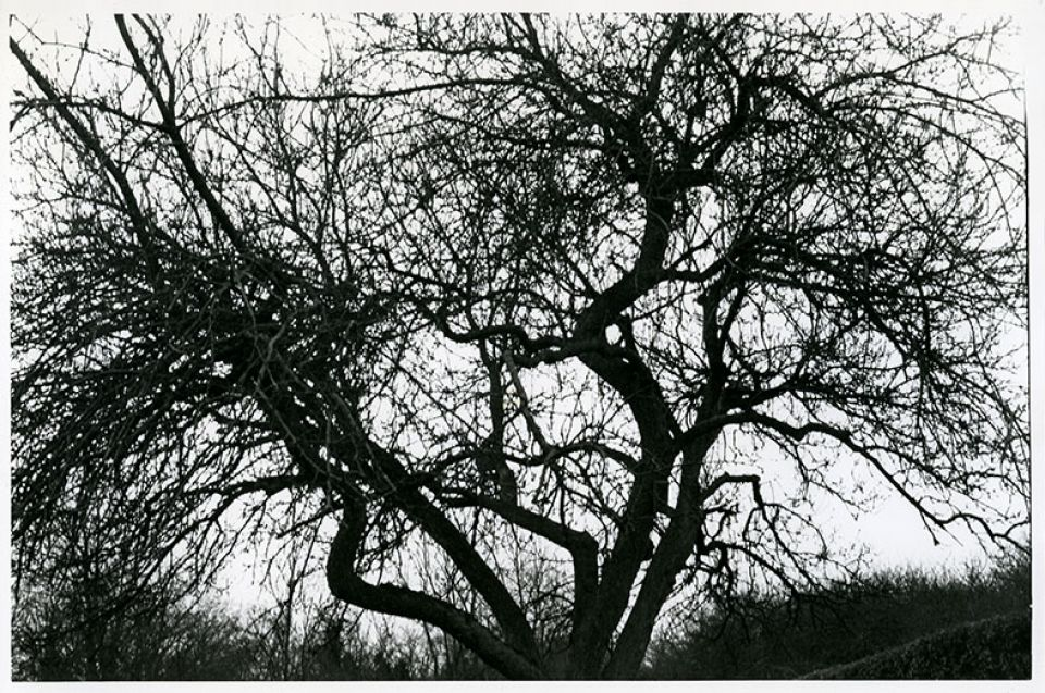 Old Apple tree in Hoglands garden, c.1975