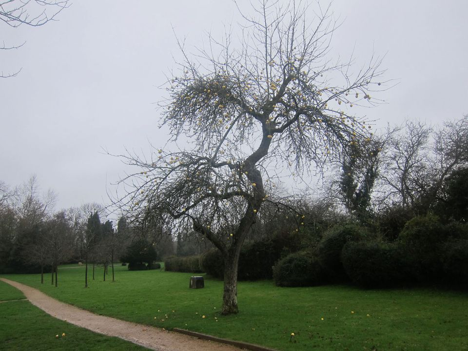 The apple tree in Hoglands Garden today